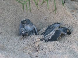 Galapagos : Sea Turtle Babies by OnyxSerpent