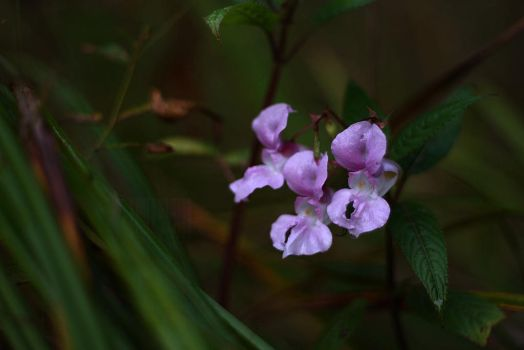 Himalayan Balsam by Truesome