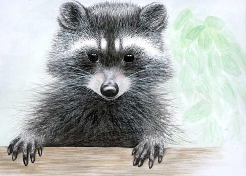 illustrated racoon by sugarkoma