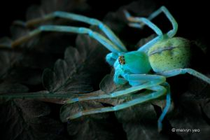 UV Florescence Huntsman Spider by melvynyeo