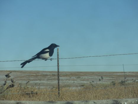Magpie by Benjamin-Phipps