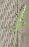 Anole 0584 by Aazari-Resources
