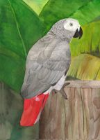 African grey parrot by greencheek