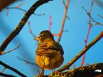 Robin On A Branch by wolfwings1