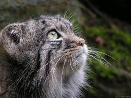 Manul in profile by Henrieke