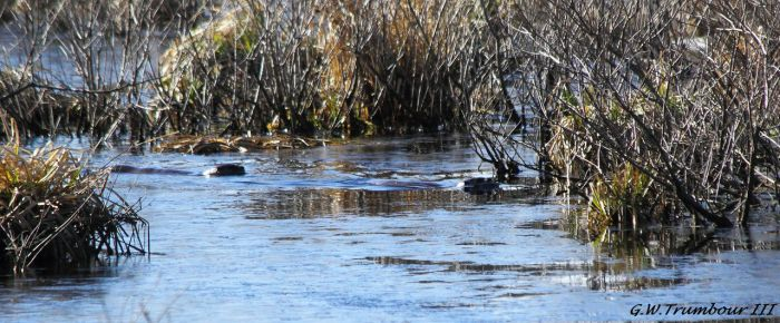 A quick view of 2 River Otters by natureguy