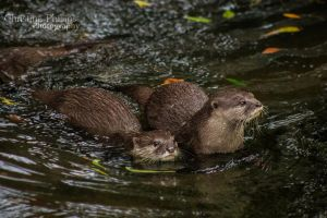 Asian Small-clawed Otters-3682 by Christina-Phillips
