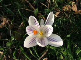 Crocus Butterfly! by Inianna