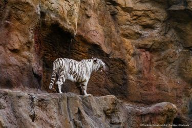 White tigress on the prowl by Wild-Lweek