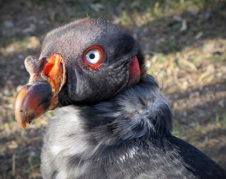 Pip-King Vulture by HDevers