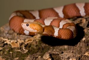 The copperhead by AngiWallace