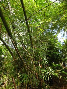 Bamboo! by Scarletcat1