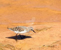 Little Stint in summer plumage by Faunamelitensis