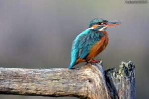King Fisher day - 5 by assincr0n0