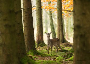 In the wilderness a young Fallow deer by roisabborrar
