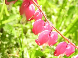 Bleeding Hearts? I think by Orako