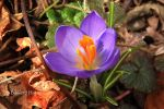Spring Crocus by HayesPhoto