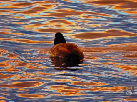 Blue And Brown Swimming Duck by wolfwings1