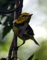 Black-Throated Green Warbler 06 by GhostInThePines