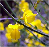 Delphi - Yellow Flower by captsolo