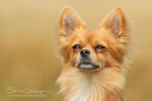 Chico the Chi by SaNNaS