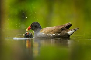 Common Moorhen (Gallinula chloropus) by AlesGola