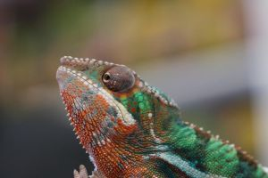 Freshly Molted Chameleon by sankyaku