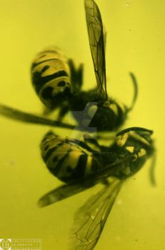 Wasps by CGrommeshPhotography