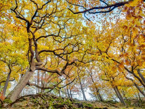 Yellow oaks on the Lindenberg ridge by zeitspuren