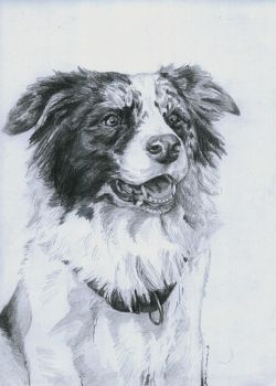 border collie by DaphneBlake