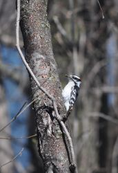 wood pecker by tomegatherion