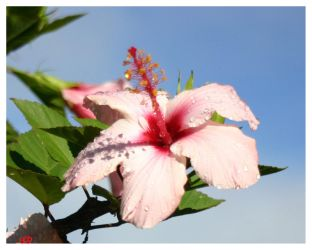 Hibiscus by oubaas