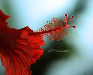 Red Hibiscus by yahikothewhite