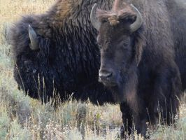 Yellowstone stock -7 by Carol-Moore