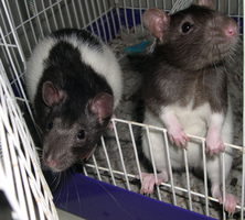 My Rats by racingwolf