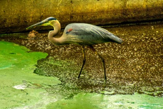 Female Heron HDR by WGSMCW