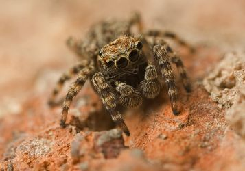 Jumping Spider 3 by Alliec
