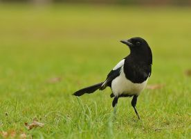 Eurasian Magpie by thisable