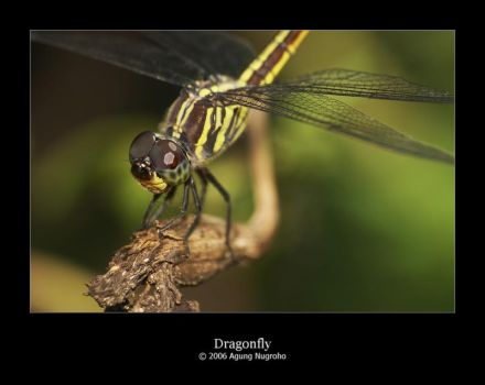 Dragonfly by patul