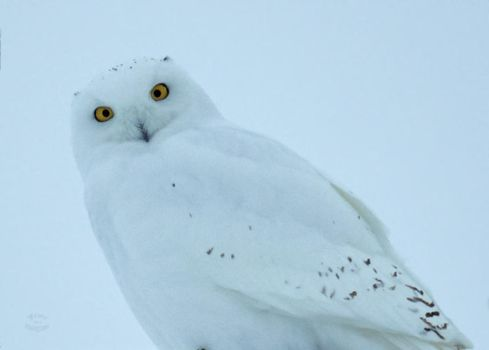 Snowy Male - Stare by JestePhotography