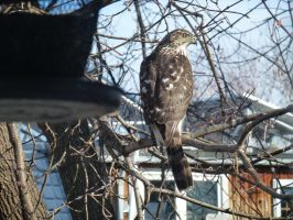 Cooper's Hawk by minamiko