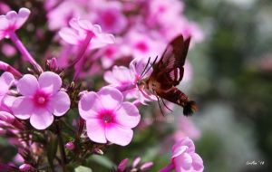 Hummingbird Clearwing and Phlox 4 by rotti3000