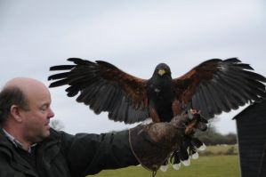 Harris Hawk Stock 19 by LRG-Photography