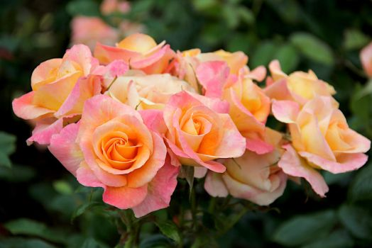 Pink and Yellow Roses by EloieeStock