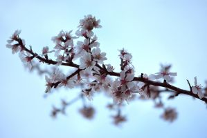 Almond Blossoms 1 by OfTheDunes