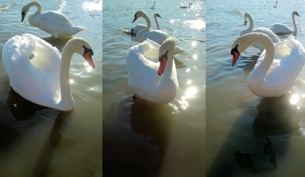 swan by sup-photo