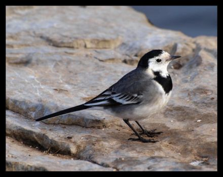 Wagtail by Uinsin