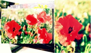 poppies by fannyjns