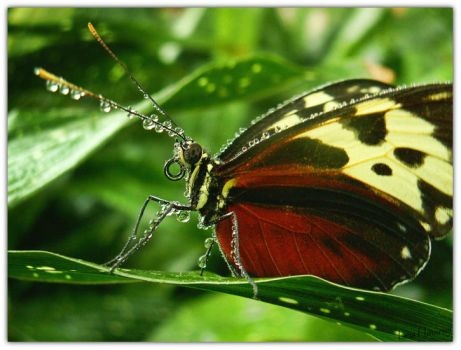 Tiger Longwing by Sonny2005