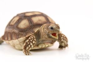 Sulcata Tortoise by lost-nomad07